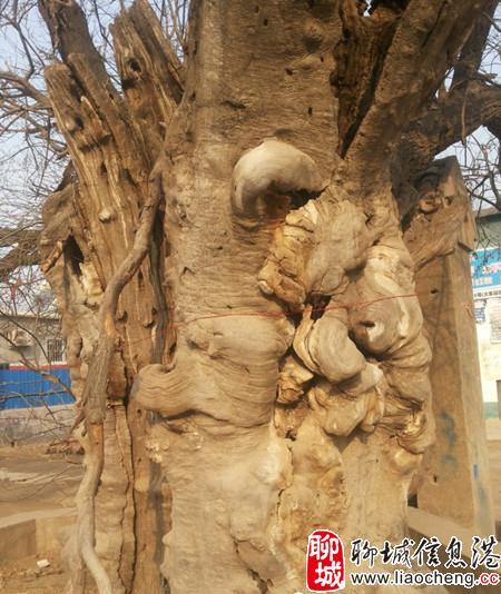 聊城:千年古树名木 阅尽人间沧桑