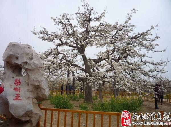 冠州梨园旅游风景区亦名中华第一梨园