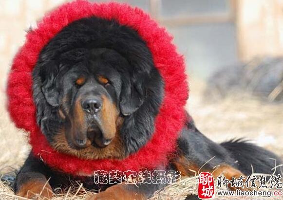 """藏獒是中国独有的大型犬类品种,来源于青藏高原,寿命一般为10至15年。""""嘉玛""""体型巨大,头颅中间的那根藏獒的标记性獒骨粗壮而明显,多次获得中华獒王称号的它,今年已满8周岁,相当于人类的中年。那究竟这只被称为中华藏獒王的嘉玛有着怎样的来历?    昨天,中国首例纯种克隆藏獒在威海环翠区闻涛谷诞生。此次诞生的克隆藏獒一共三只,它们基因全部来自一只""""中华藏獒王"""",这三只藏獒分别被取名为""""嘉博""""""""嘉雅"""""""""""